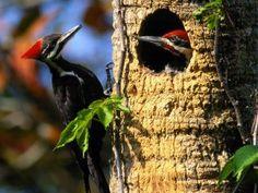 Aves do Cerrado e do Brasil | | Página 3