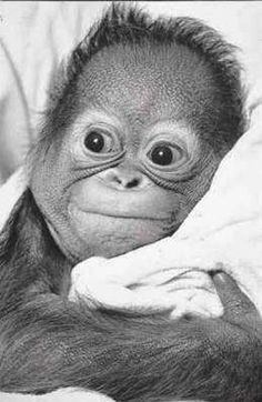 One of my life long dreams is to hold and play with a baby orangutan....I needs one for a day or so