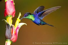 Violet-crowned Woodnymph Hummingbird, Costa Rica, by  Ralph Paonessa Photography