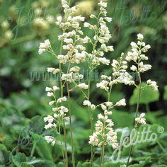 Plantes Vivaces HEUCHERA sanguinea 'White Cloud' - Heuchère en vente - Pépinière…