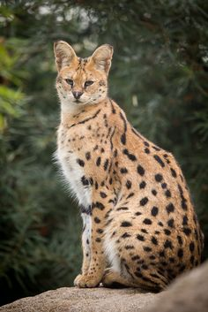Beautiful serval at a zoo. Small Wild Cats, Big Cats, Cats And Kittens, Big Cat Species, Grand Chat, Serval Cats, Animal Medicine, Exotic Cats, Dancing Cat