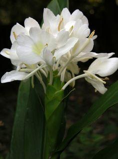 white ginger flower smells so sweet