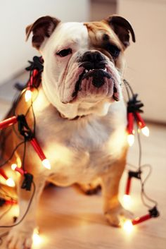 If only somebody would get me an English bulldog for Christmas. I ...