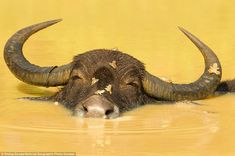 2012 National Geographic Photography Contest: Ondrej Zaruba photographed this happy-looking cow having a bath