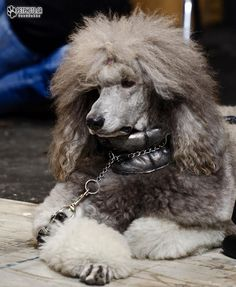 Lovely poodle