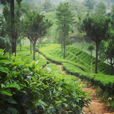 One of the many beautiful tea trails in Hatton, Sri Lanka! To watch our 2 minute video on Hatton, check out our website, or go to YouTube.com/c/travelbeans  #srilanka #travel #nature #wanderlust #tea #hatton #green