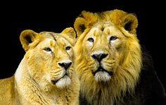 Leijona, Koheesio, Kumppani, Harja