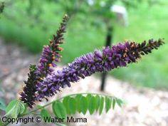 False Indigo (Amorpha fruticosa)