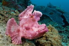 British wildlife photographer Alex Mustard has travelled the world snapping pictures of the weird and wonderful creatures found beneath the sea, from the denizens of the deep who never see light of day, to the strange sea life that populates the wider ocean. A paddle-flap scorpionfish (Rhinopias eschmeyeri) on rubble slope (Bitung, North Sulawesi, Indonesia) Picture: Alex Mustard/NPL/REX
