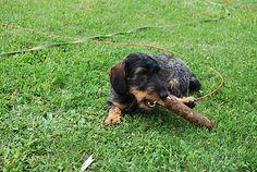 dachshund blog
