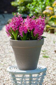 Wat kun je doen als je bloembollen zijn uitgebloeid? - LibelleFacebookPinterestWhatsAppEmail Planter Pots, Flowers, Dragon Flies, Porches