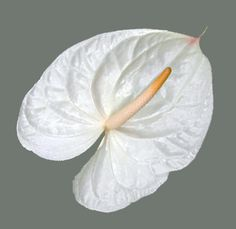 Wholesale White Anthurium Flower in Bulk Types Of Flowers, Diy Flowers, White Wedding Flowers, White Flowers, Rattan Outdoor Furniture, Solomons Seal, Strawberry Plants, Flower Farm, Tropical Flowers