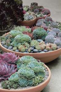 Terracotta bowls planted with succulents
