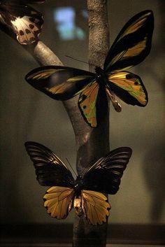 Ornithoptera Croesus Butterflies