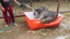 Sore All Dah mandi LUm???  Bayi gajah Aja Mandi http://eketawa.com/Bayigajahlucu http://eketawa.com/video-bayi-gajah-lucu-bikin-ketawa-eketawers/
