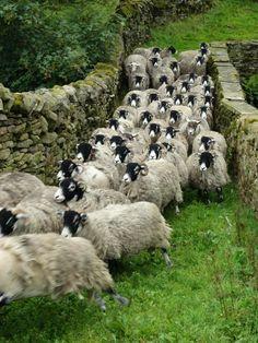"pagewoman: "" Swaledale Sheep, Ravenseat, Swaledale, North Yorkshire, England by Amanda Owen "" Yorkshire Dales, North Yorkshire, Yorkshire England, Alpacas, Farm Animals, Cute Animals, Animals Amazing, Sheep And Lamb, Sheep Wool"