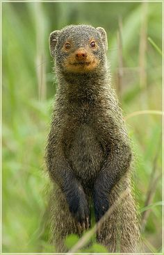 """The Mongoose or Mongooses are 33 living species of small carnivorans from southern Eurasia and mainland Africa of the family Herpestidae. Four additional species from Madagascar in the subfamily Galidiinae, which were previously classified in this family, are also referred to as """"mongooses"""" or """"mongoose-like"""". Genetic evidence indicates the Galidiinae are more closely related to other Madagascar carnivorans in the family Eupleridae, which is the closest living group to the true mongooses."""