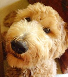 I'm cute.  #Indy #11monthsold Goldendoodle