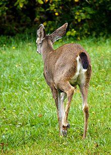 Black-tailed deer - (Odocoileus hemonius columbianus) Wikipedia, the free encyclopedia
