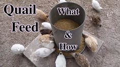 What & How I feed Coturnix/Japanese Quail