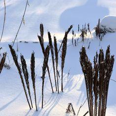 End of the Year at Carla's - FineGardening Fine Gardening, Gardening Tips, Cinnamon Fern, Maple Valley, Woodland Garden, Snowy Day, Winter Beauty, Hydrangea Flower, Garden Photos