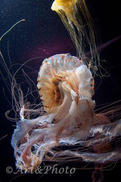 Medusa. Malaysia. 2013.