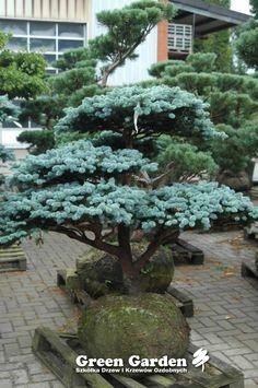 Picea Pungens 'Glauca Globosa' Bonsai