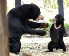 bear-wants-a-hug sun bear
