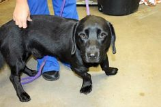 Buddy: Beautiful black Bassett mix is out of time at high-kill upstate shelter