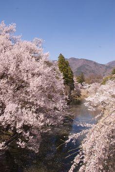 Cherry tree in full bloom, Ueda Castle Ruins Park, Nagano, Japan