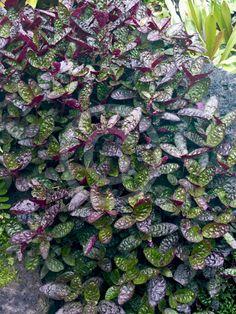 Hemigraphis alternata Exotica (Purple Waffle Plant)