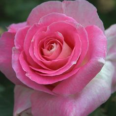 One of the most unusual roses we've developed, it's our first ever pink with a cream reverse. A true garden standout, this sparkling, two-toned beauty also boasts a fresh, spicy scent.
