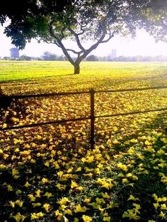 Fallen poui tree flowers around the Queen's Park Savannah, Trinidad.  This is a beautiful photograph.