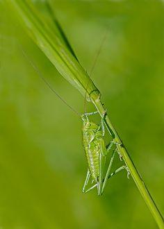 Saltamontes verde en su entorno (Tettigonia viridissima) - Pentaxeros.com