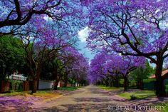 Jacaranda trees in Pretoria, S. Africa.