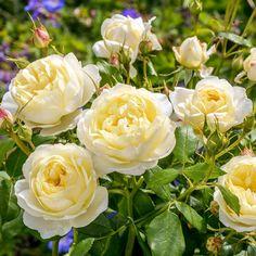 English Roses Vanessa Bell - David Austin Roses - Very Fragrant - English/Musk