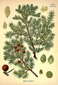 31543 Juniperus oxycedrus L. / Köhler, F.E., Medizinal Pflanzen, vol. 3: t. 79 (1890)