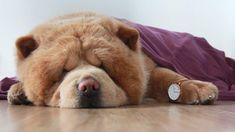 (Photo via IG: chowderthebeardog) Time Photo, Daniel Wellington, Bedtime, Dogs, Cute, Animals, Cutest Dogs, Pets, Dog Baby