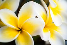 Frangipani by Jeremy Somerville on 500px