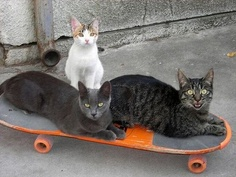 I especially like the younger cat sitting behind the skateboard...it looks like an adolescent sibling who sooo wants to play with the older kids!
