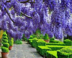Imagini pentru wisteria tree