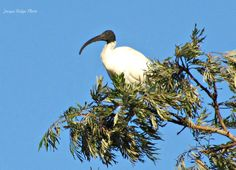 Ibis resting on top of large tree