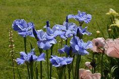 Iris sibirica 'Blaues Schweben' - 65cm