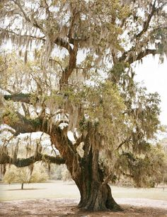 Spanish moss, one of my favorite things. Just makes me think of warm summer afternoons, sitting on a porch or laying in the grass. The slow, sweet time of summer...