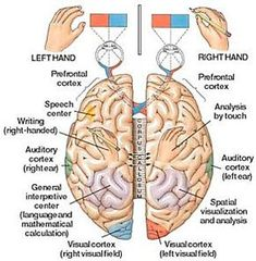 In children with dyspraxia, the two hemispheres of the cerebral cortex are not working in harmony to produce the desired results. I'm so glad to find more and more information about dyspraxia. Pediatric Occupational Therapy, Pediatric Ot, Brain Anatomy, Anatomy And Physiology, Dyscalculia, Vision Therapy, Sensory Integration, Brain Waves, Physical Therapy