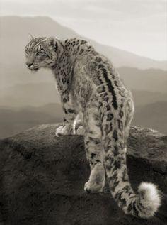 Snow Leopard. Big kitty