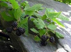 Bramble Berry or Black Berry bushes. The leaves make a great tea.It is an astringent great for mouth sores and full of vitamins. Also a great skin lotion. The berries are delicious and healthful to eat. Growing Blackberries, Growing Grapes, Growing Flowers, Glowing Skin Diet, Organic Living, Herbal Remedies, Health Remedies, Skin Food, Fruit Garden