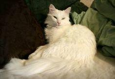 My turkish angora cat.