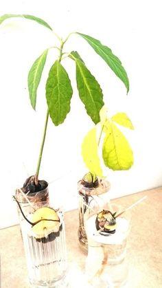 根っこが伸びてしまえば、ひと安心。玄関やリビングに置いても、ふくよかな葉の緑がとても映えます。 Botanical Gardens, Green, Gardening, Painting, Vegetable Garden, Plants, Garten, Painting Art, Paintings