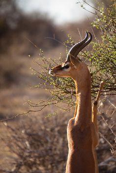 Gerenuk or Giraffe Gazelle